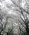 Sakurasora_6