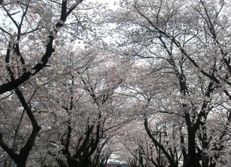 Sakura12_3