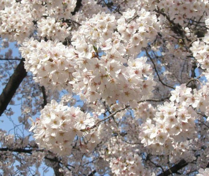 Sakura15_3