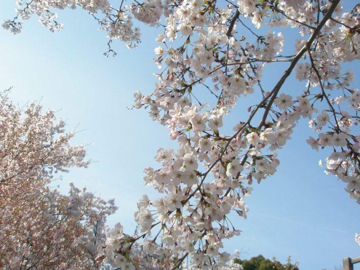 Sakura7_3