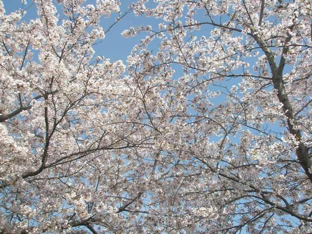 Sakuraringu_009