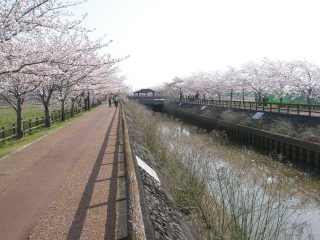 Sakuraringu_019