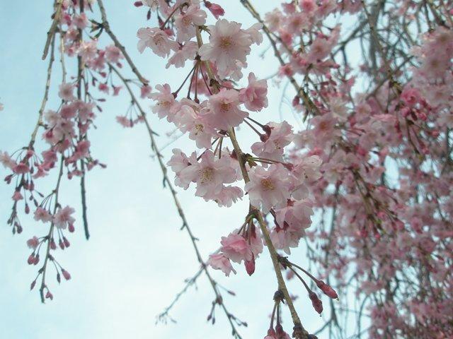 Sakuraringu_061