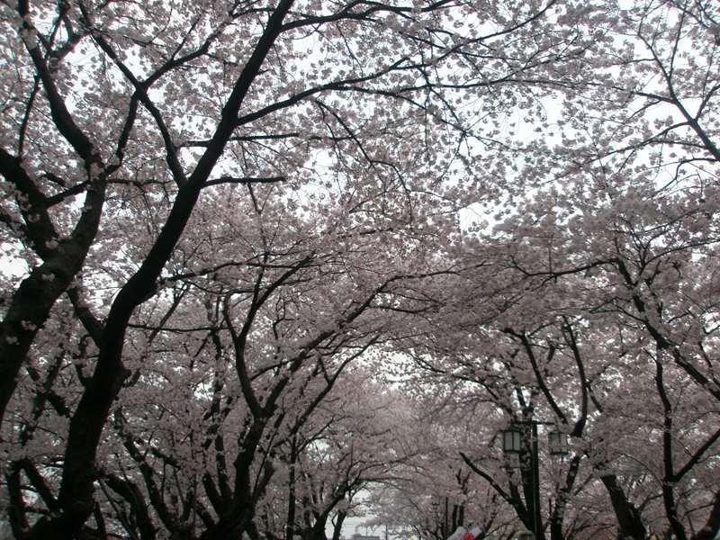 Sakuraringu_079