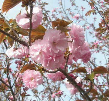 Sakura2_067